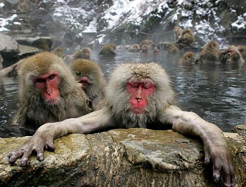 DVLT monkeys